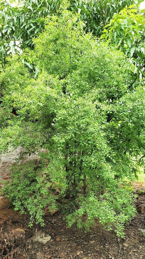 Een hoogtepunt - mening van een Indische Sandelhoutboom - Santalum-album oud van vijf jaar royalty-vrije stock foto