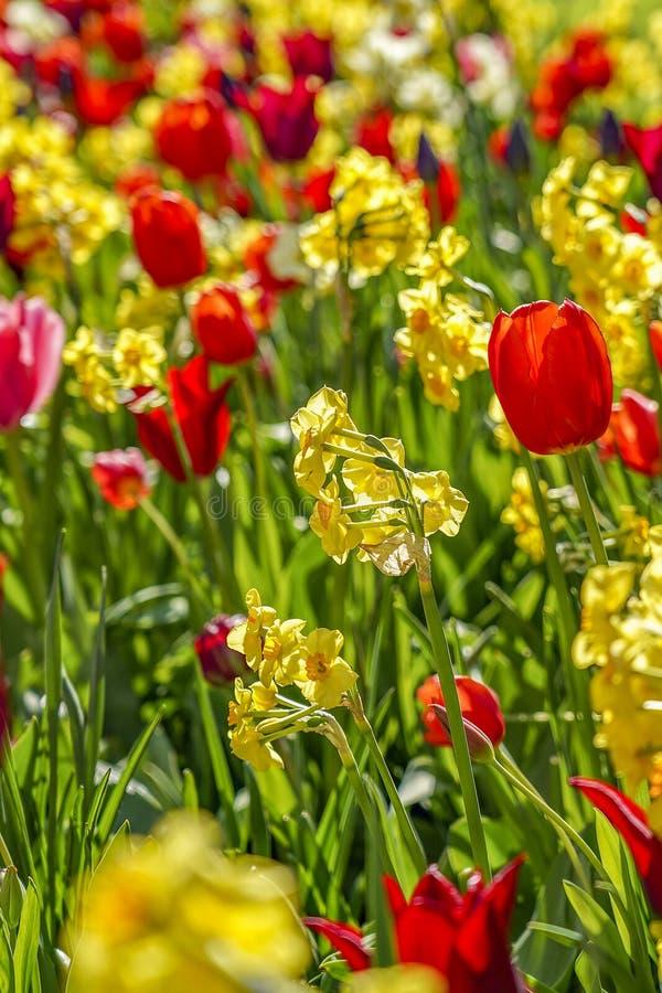 Een hoogtepunt van het bloembed van gele gele narcissen en Rode tulpen royalty-vrije stock fotografie