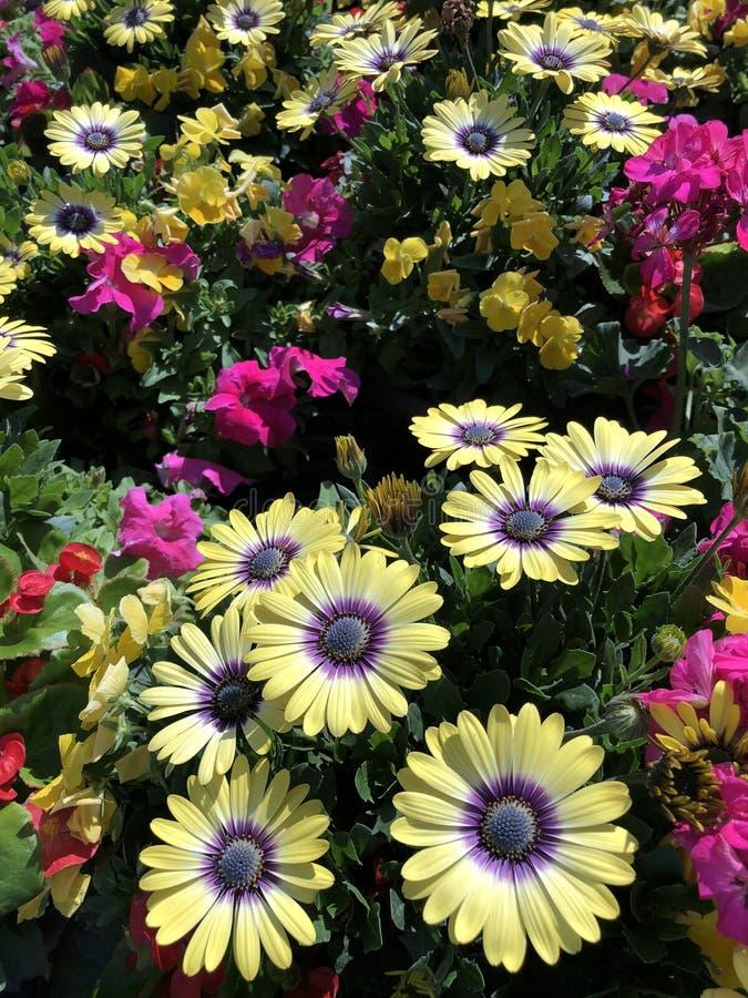 Een hoogtepunt van het de lentegebied van madeliefjes bloeit, bloemenachtergrond royalty-vrije stock fotografie