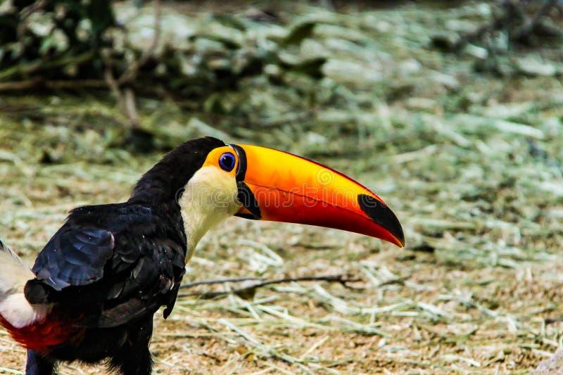 Een hornbill in Nieuw Zeeland royalty-vrije stock afbeeldingen