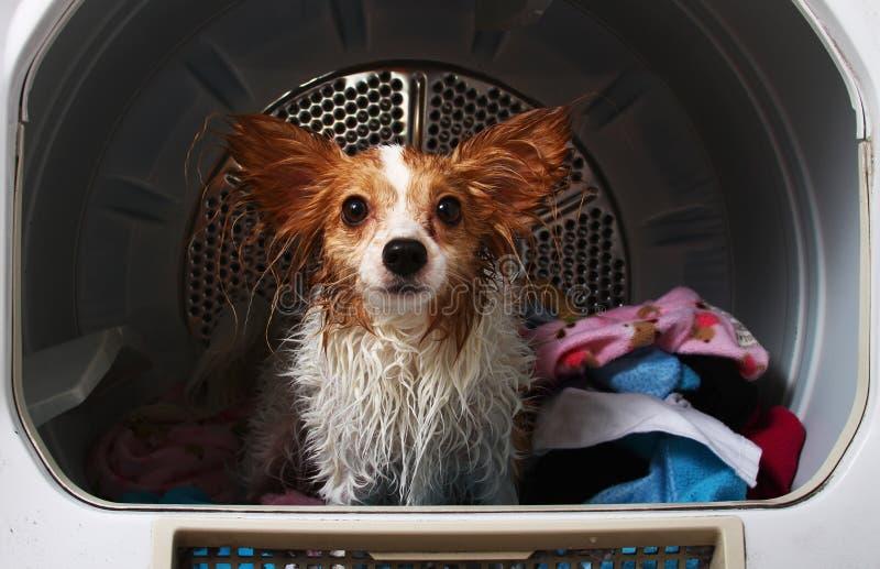 Een huisdierenhond in een drogere machine stock foto's