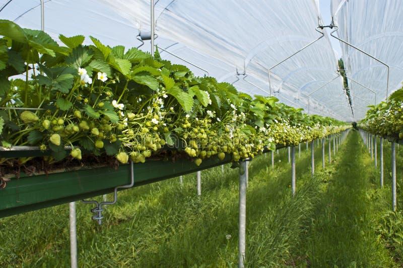 Een hydroponic aardbei landbouw ondertunnels stock foto's