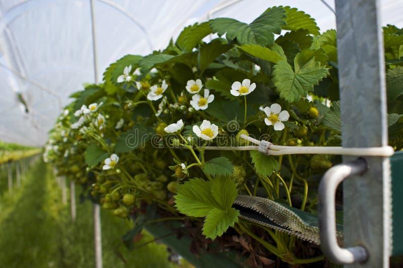 Een hydroponic aardbei landbouw ondertunnels royalty-vrije stock afbeelding