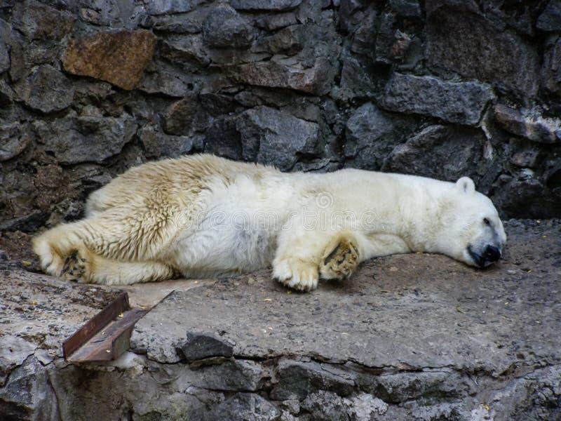 Een ijsbeer die rust stock foto's