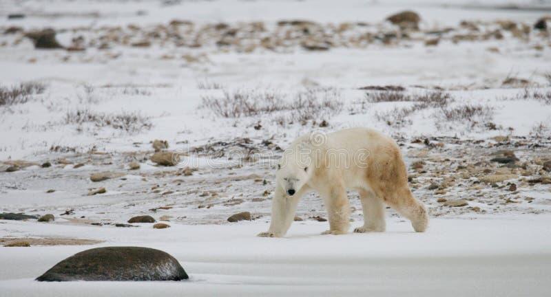Een ijsbeer op de toendra sneeuw canada stock afbeeldingen