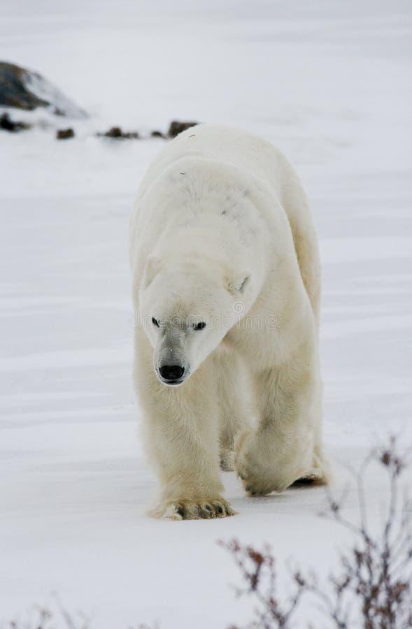 Een ijsbeer op de toendra sneeuw canada royalty-vrije stock afbeelding