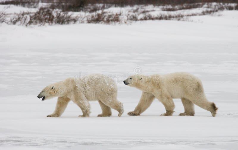 Een ijsbeer op de toendra sneeuw canada stock fotografie