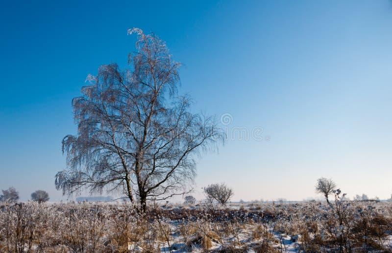 Een ijzige solitaire boom in een Nederlands natuurreservaat stock afbeelding