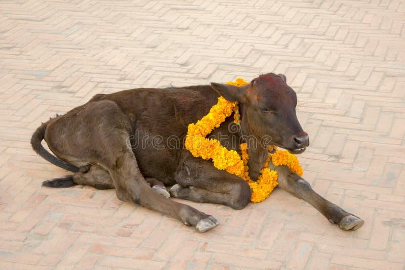 Een Indische bruine koe met een bloemslinger rond zijn hals en een rood stippelen op zijn voorhoofd Feestelijke Koe stock afbeeldingen