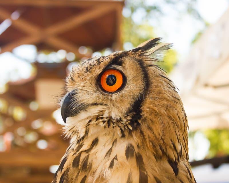 Een Indische Eagle-uil, species van gehoornd-uil stock afbeeldingen