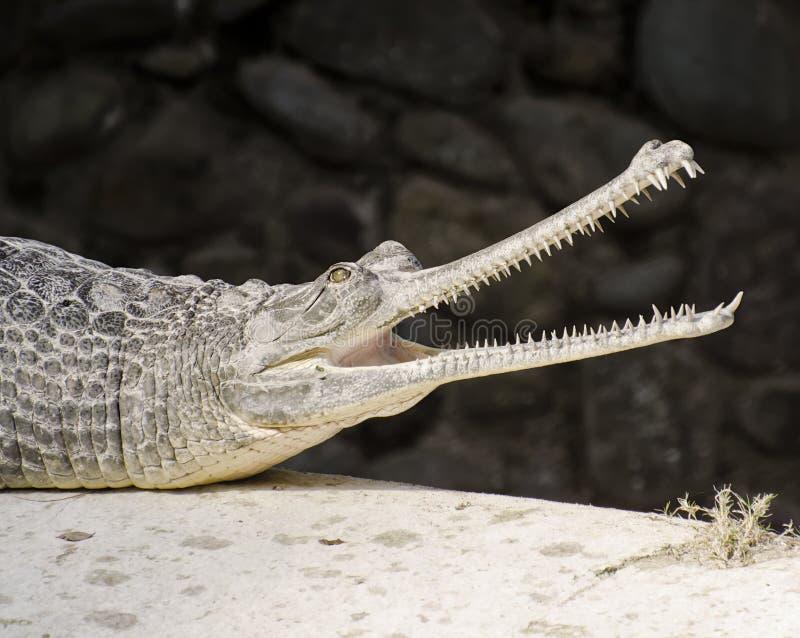 Een Indische Gharial-Krokodil royalty-vrije stock foto