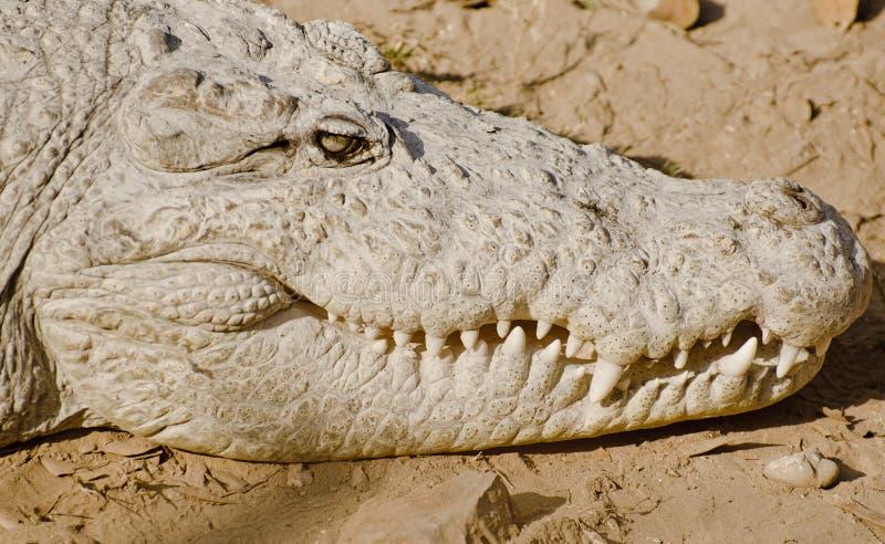 Een Indische Krokodil stock afbeeldingen