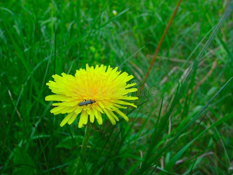 Een insect op een gele paardebloem stock foto's