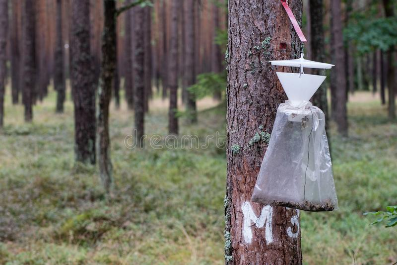 Een insectval hing op een boomboomstam Vernietiging van bosongedierte stock foto's