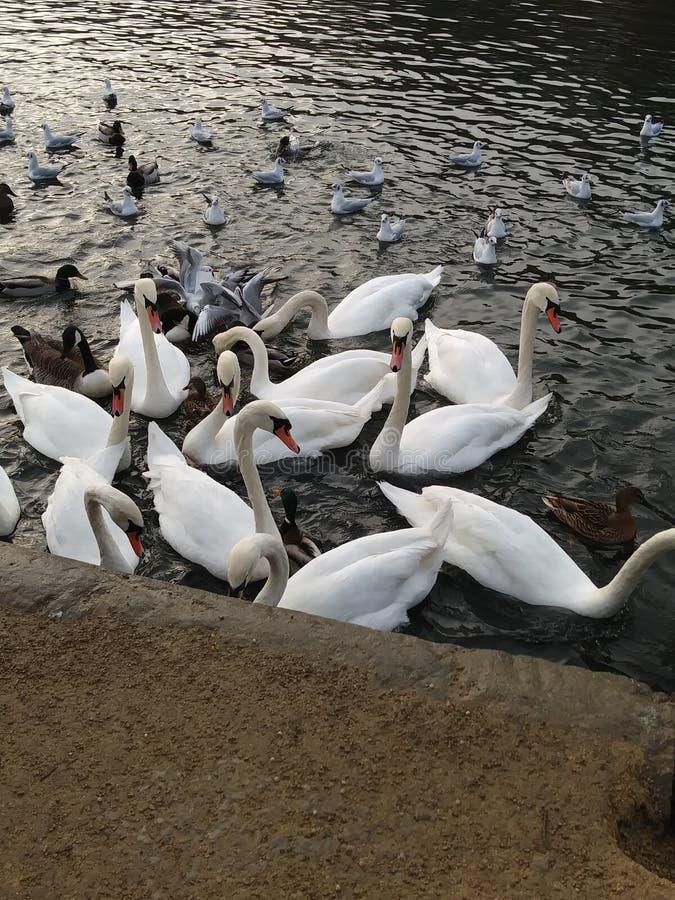 Een inzameling van zwanen door het water royalty-vrije stock afbeeldingen