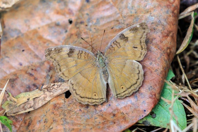 Een iphitavlinder van Chocoladepansy junonia royalty-vrije stock foto
