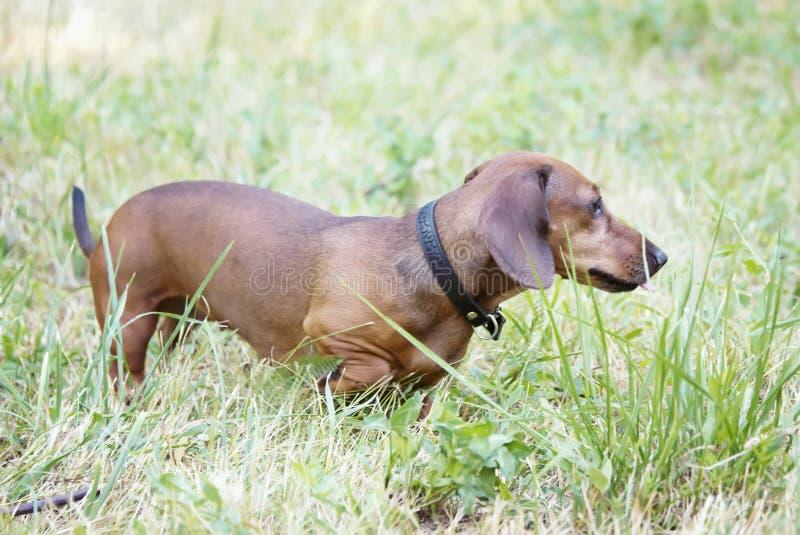 Een jachthond loopt langs de grastekkel, Basset stock afbeelding