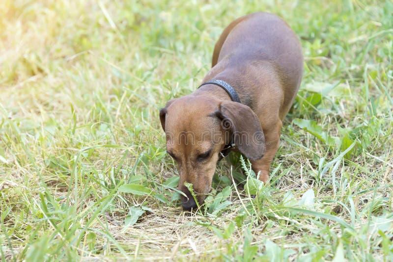 Een jachthond loopt langs de grastekkel, Basset stock foto