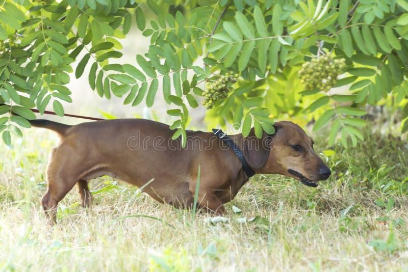 Een jachthond loopt langs de grastekkel, Basset stock fotografie