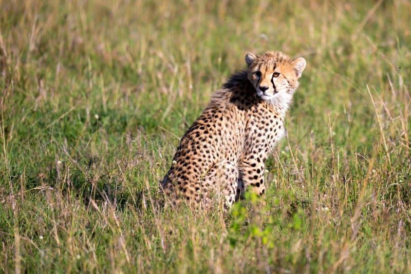 Een jachtluipaard zit in het graslandschap van de savanne van Kenia royalty-vrije stock foto's