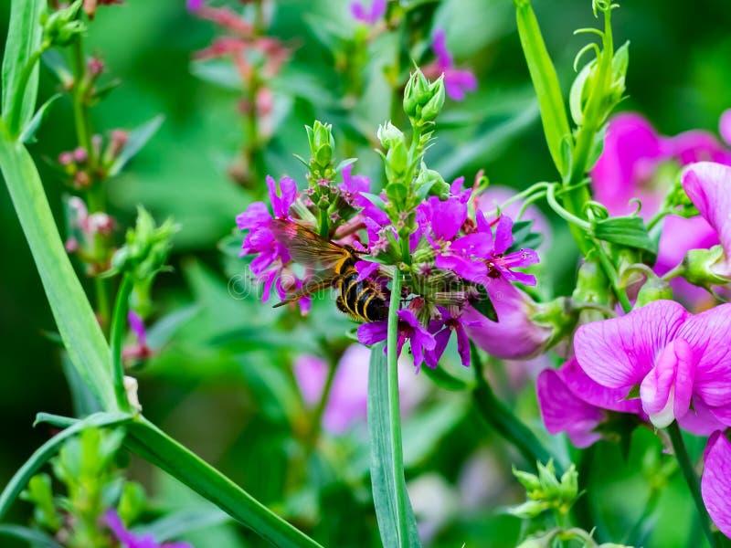 Een Japans bijenvoer van kleine bloemen royalty-vrije stock foto