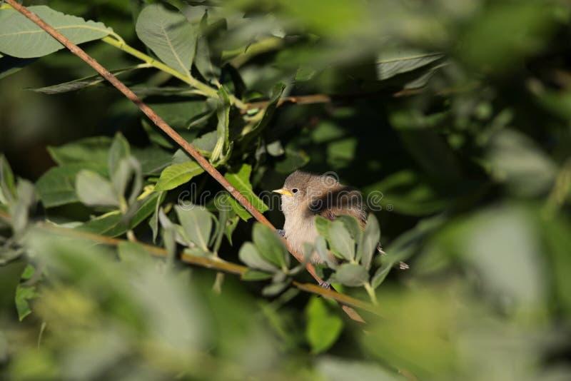 Een jeugd Europees-Aziatische pendulinus van Remiz van de pendulinemees vloog enkel uit het nest en streek op een riettak neer stock foto's