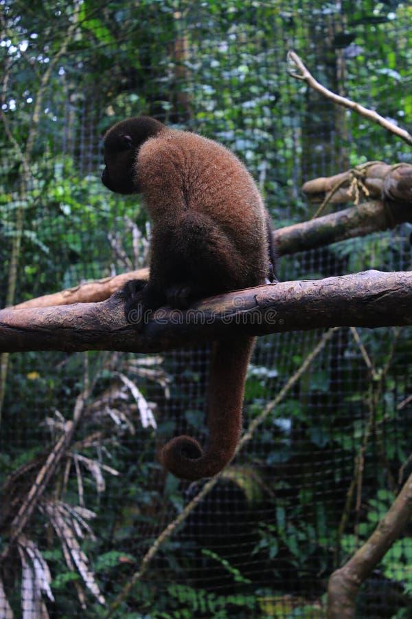 Een jeugd wollige aap in gevangenschapszitting op een tak die de tycical gekrulde staart shwooing royalty-vrije stock foto's