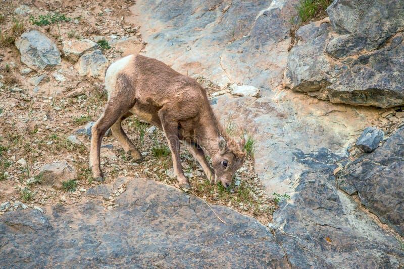Een jeugdbighornschaap die gras eten Jasper National Park alberta canada stock afbeelding