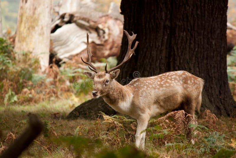 Een jong mannelijk hert royalty-vrije stock afbeeldingen