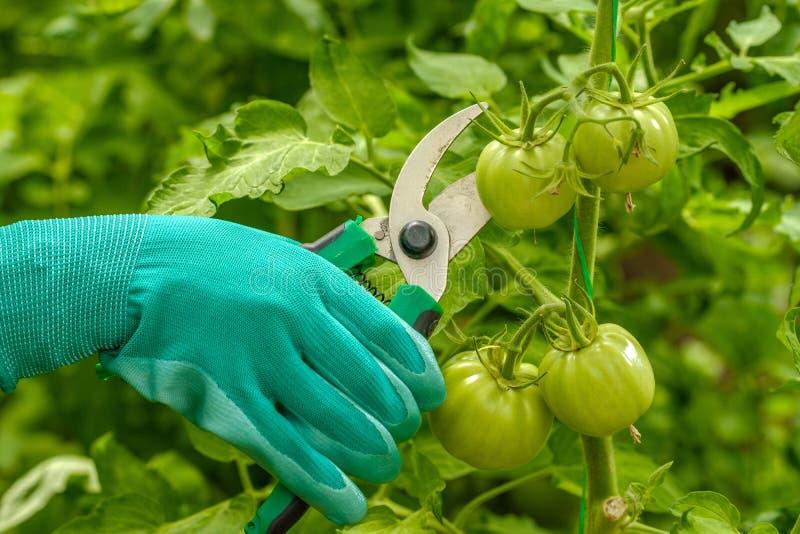Een jong meisje werkt in een kas Industriële teelt van groenten royalty-vrije stock afbeelding