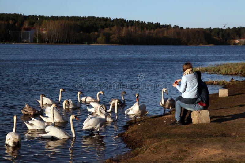 Een jong paar voedt zwanen op de meerkust stock fotografie