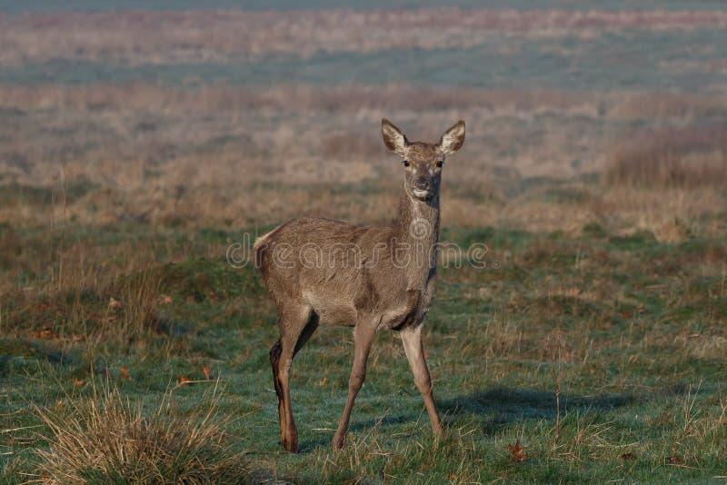 Een jong rood hert achterste bij eerste licht royalty-vrije stock foto
