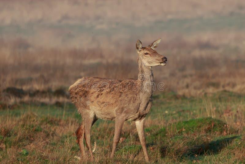 Een jong rood hert achterste bij eerste licht stock afbeeldingen