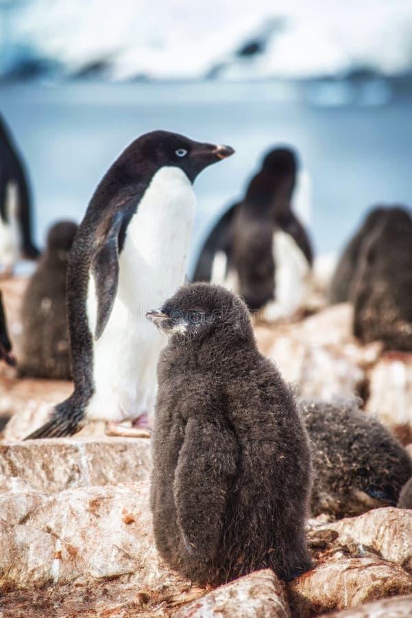 Een Jonge Adelie-Pinguïn stock afbeelding