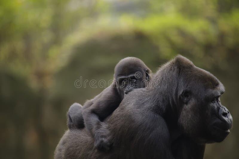 Een jonge babygorilla op de rug van moeder stock afbeelding