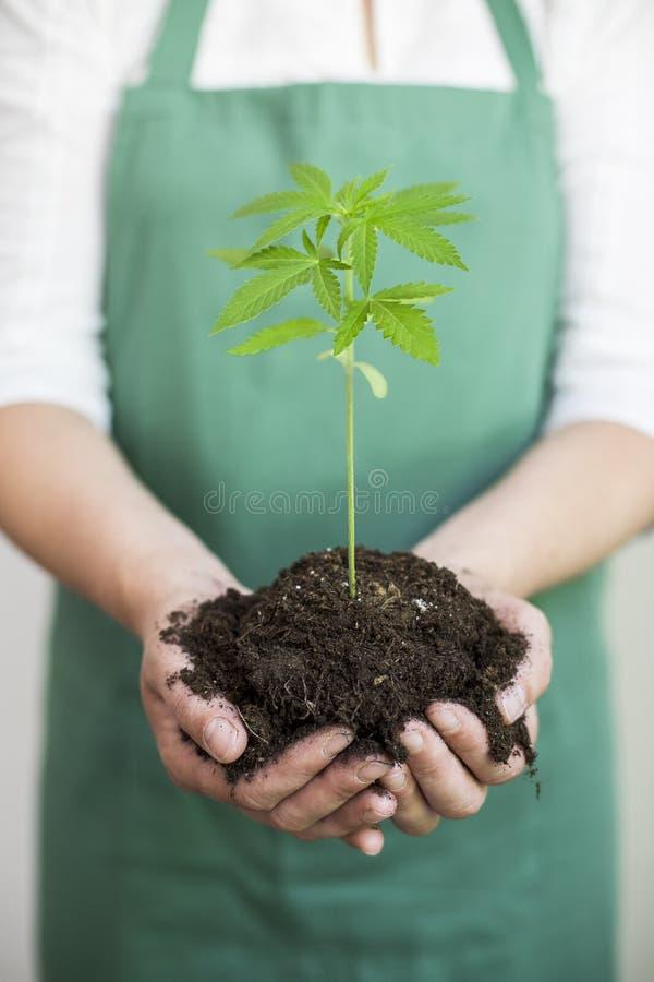 Een jonge cannabis plant in grond die in de hand van een vrouw wordt gehouden royalty-vrije stock foto