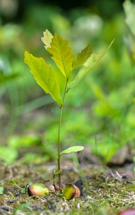 Een jonge eiken spruit die van een eikelclose-up ontspruiten op een vage groene achtergrond royalty-vrije stock foto's