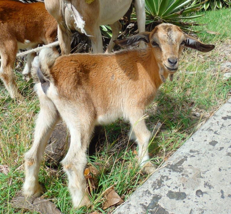 Een jonge geit op het tropische Eiland bequia royalty-vrije stock foto's