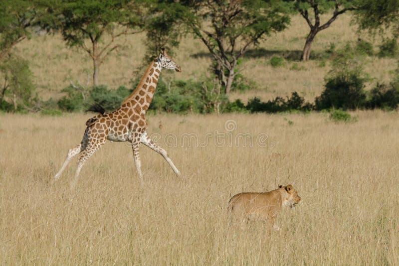 Een jonge giraf die aan haar familie lopen wanneer een leeuw in de savanne verschijnt stock fotografie