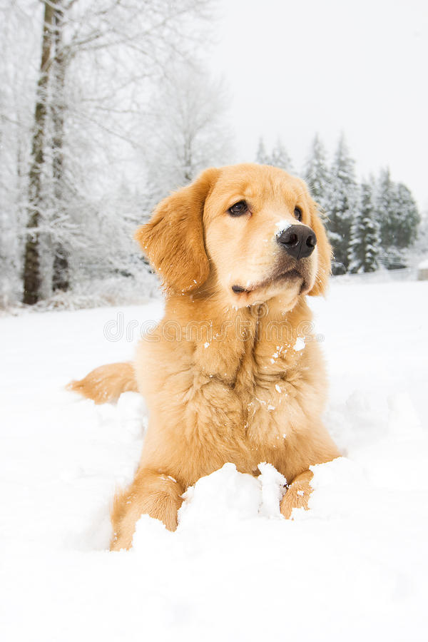 Een jonge gouden retrieverhond die in sneeuw bepaalt royalty-vrije stock afbeelding