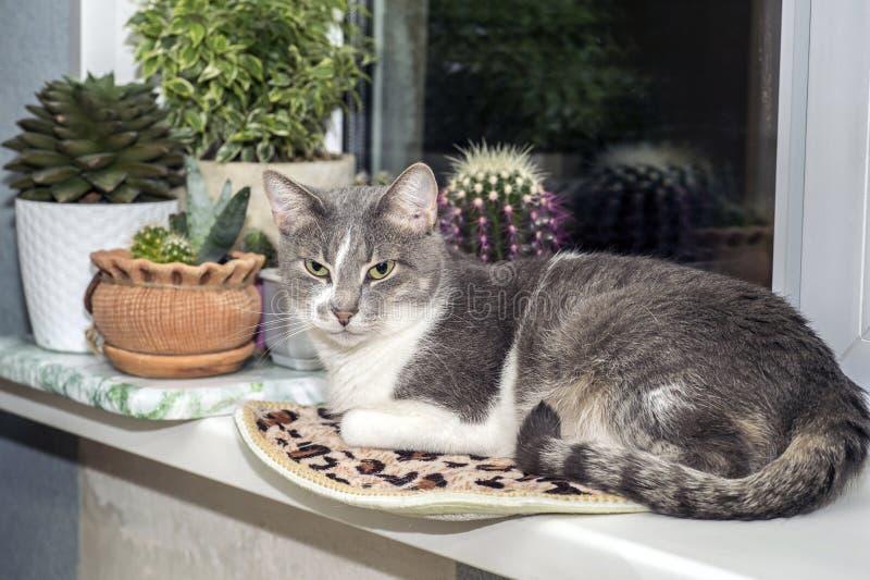 Een jonge grijze kat met een gestreepte staart rust op de vensterbank tegen de cactussen in oplettendheid stock foto's