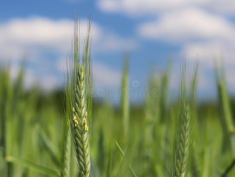 Een jonge groene en bloeiende steel van tarwe rijpt op een tarwegebied tegen een blauwe hemel Vage natuurlijke achtergrond Landbo stock foto