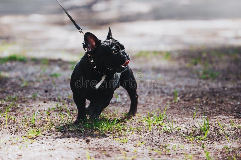 Een jonge hond van het ras is een Franse buldog op een leiband Portret van een volbloed- hond royalty-vrije stock afbeeldingen