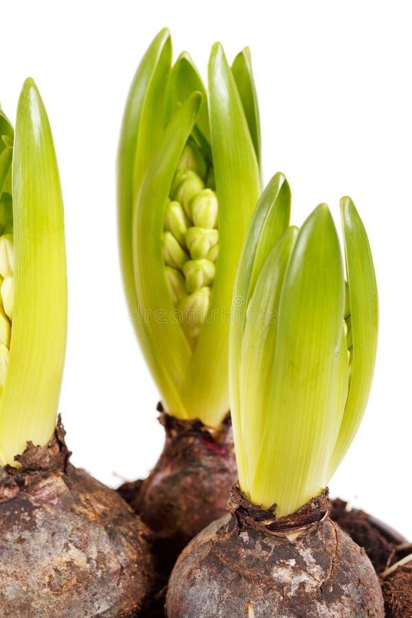 Een jonge hyacint stock foto