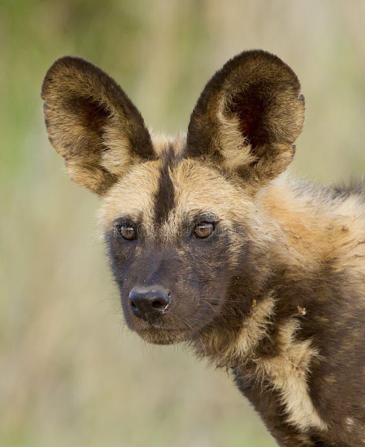 Een jonge Kaapjachthond of een Wilde hond, Zuid-Afrika stock foto's