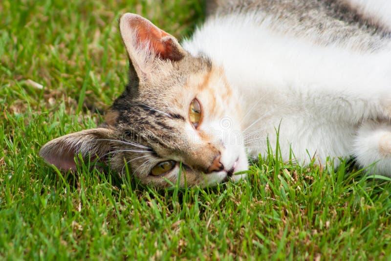 Een jonge kat ligt op het gras, de rust en de spelen stock afbeeldingen
