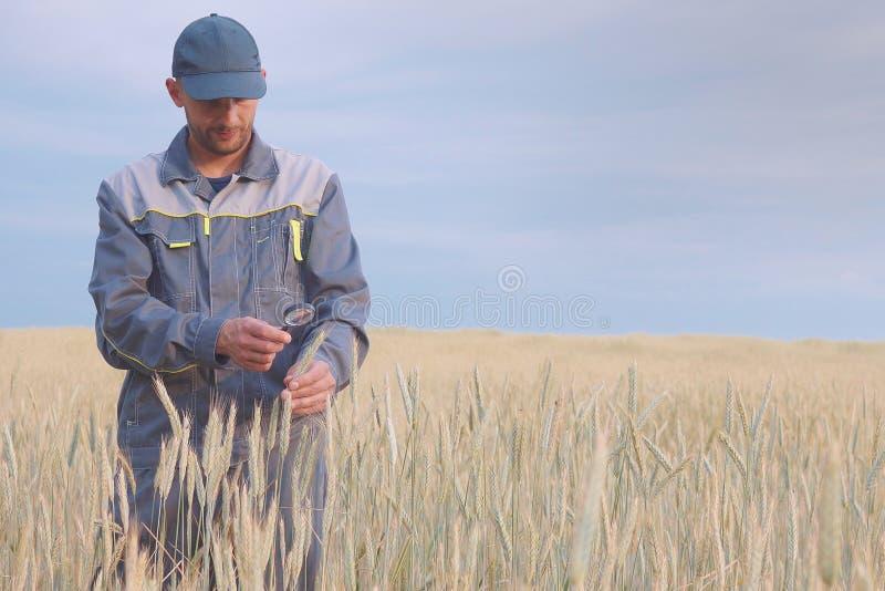 Een jonge landbouwer controleert de installaties op een roggegebied De ruimte van het exemplaar royalty-vrije stock fotografie