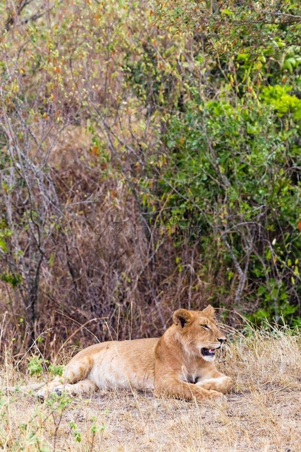 Een jonge leeuwin rust in een dichte struik Kenia, Afrika royalty-vrije stock foto