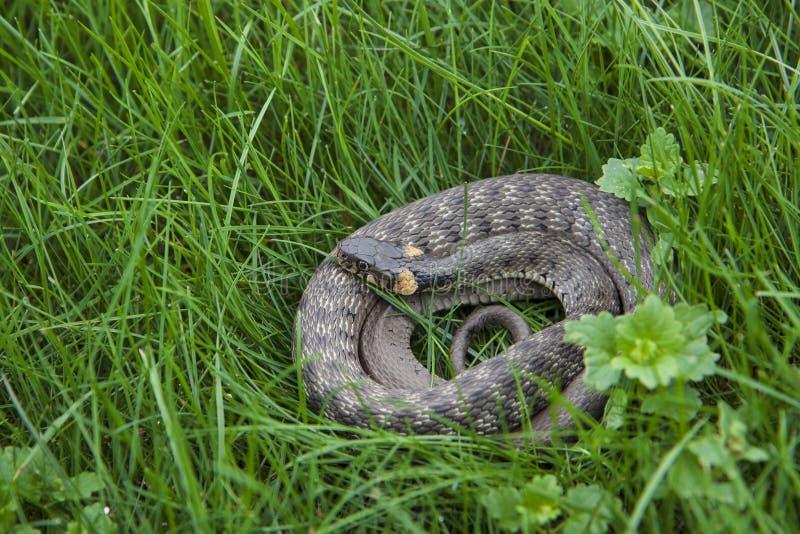 Een jonge natrixslang rust in het verse gras Een niet-giftige slang die in bossen van een meer of een rivier leeft royalty-vrije stock fotografie