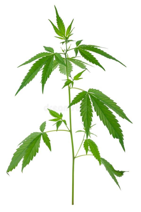 Een jonge nieuwe het groeien cannabis (marihuana) installaties stock foto